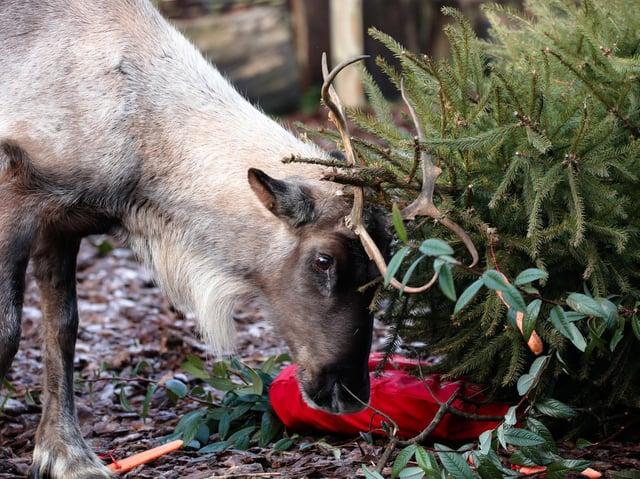 Reindeer enjoys festivities at ZSL Whipsnade Zoo (C) ZSL
