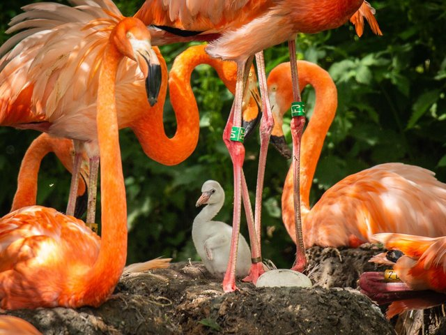 Whipsnade Zoo celebrates the arrival of four fluffy flamingo chicks